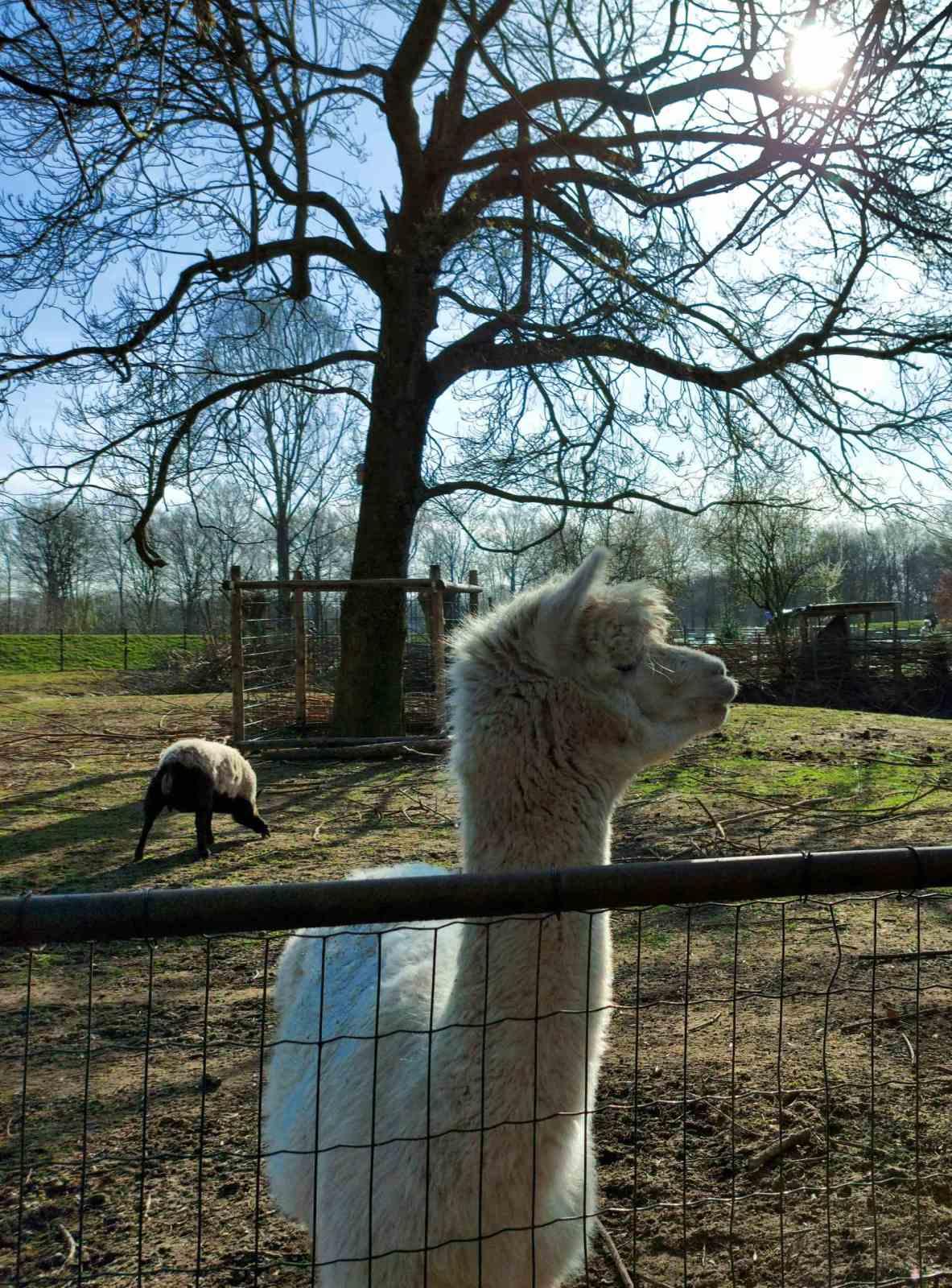 Alpaca Otto